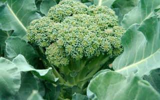 Брокколи (Brassicaoleracea var. italica) — описание, выращивание, фото