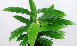 Калатея рыжебородая (Calathea rufibarba) — описание, выращивание, фото