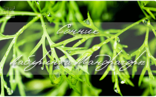 Укроп душистый (Anethum graveolens) — описание, выращивание, фото