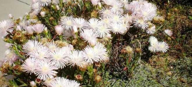 Лампрантус (Lampranthus) — описание, выращивание, фото