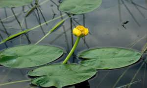 Кубышка стреловидная (Nuphar sagittifolia) — описание, выращивание, фото