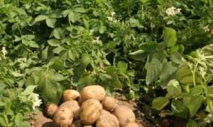 Картофель 'Гранат' — описание сорта, характеристики