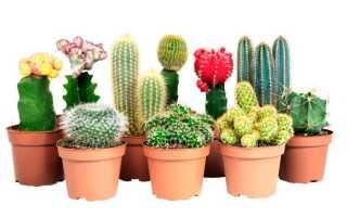 Все о кактусах: от выбора до ухода