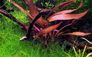 Барклайя Мотли (Barclaya motleyi) — описание, выращивание, фото