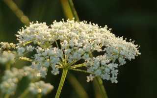 Бедренец анисовый (Pimpinella anisum) — описание, выращивание, фото